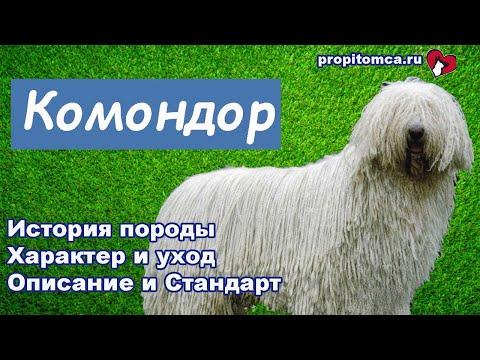 Комондор - венгерская овчарка с белыми дредами: описание породы собак
