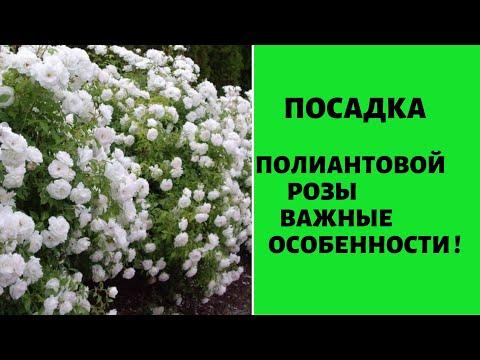 ПОСАДКА ПОЛИАНТОВОЙ РОЗЫ. Когда и как правильно сажать розы. Выращивание, уход, удобрение роз