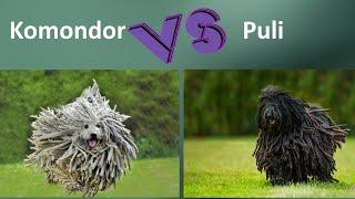 Komondor VS Puli  Breed Comparison  Puli and Komondor Differences