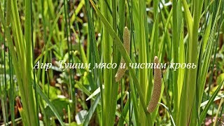 видео Аир болотный: свойства и применение корневищ, противопоказания