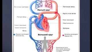 Как работает кровеносная система.