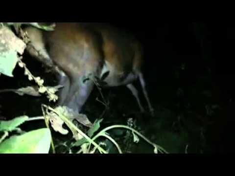 Maori guy shoots deer antler