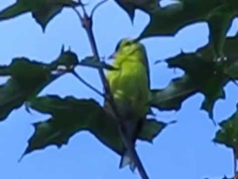 Yellow Finch songbird
