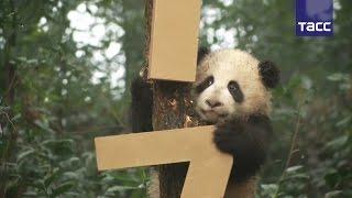 Маленькие панды подготовились к встрече китайского Нового года