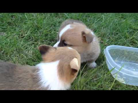 4 week old Corgi Pups