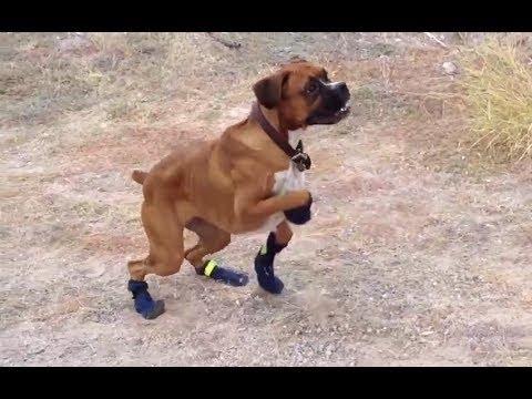 Как собаки ходят в обуви