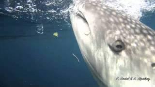 Download Video Tiburones ballena en la bahía de Cendrawasih, Papúa MP3 3GP MP4
