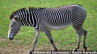 Why Do Zebras Have Stripes? Scientists Blame Bug Bites
