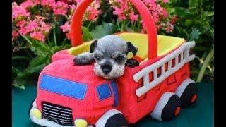 Teacup, Toy, & Mini Salt & Pepper Schnauzer Puppies