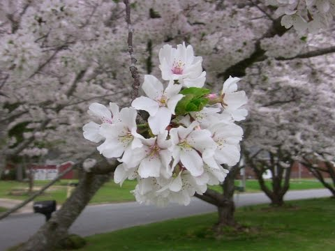 2016 Time lapse - Cherry Trees Blooming - Springtime in Virginia