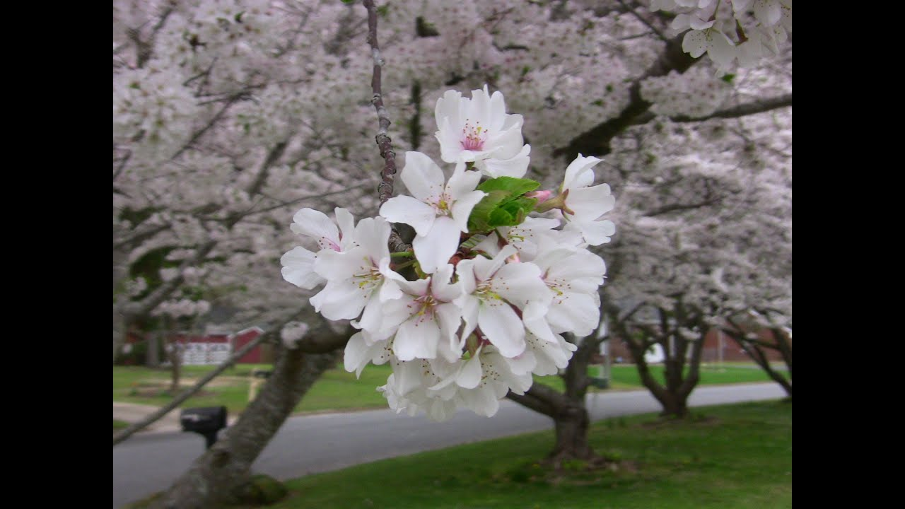 2016 Time Lapse Cherry Trees Blooming Springtime In Virginia Youtube