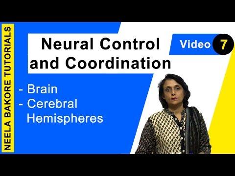 Brain, Brain Anatomy, Cerebral Cortex, Frontal Lobe, Frontal Lobe Function, Occipital, Documentaryиз YouTube · Длительность: 7 мин20 с