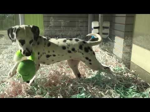 www.EmpirePuppies.net   (Dalmatian puppies for sale)