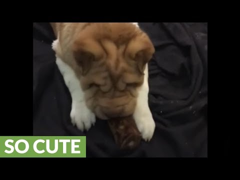 Shar Pei puppy gets overly excited for new treat