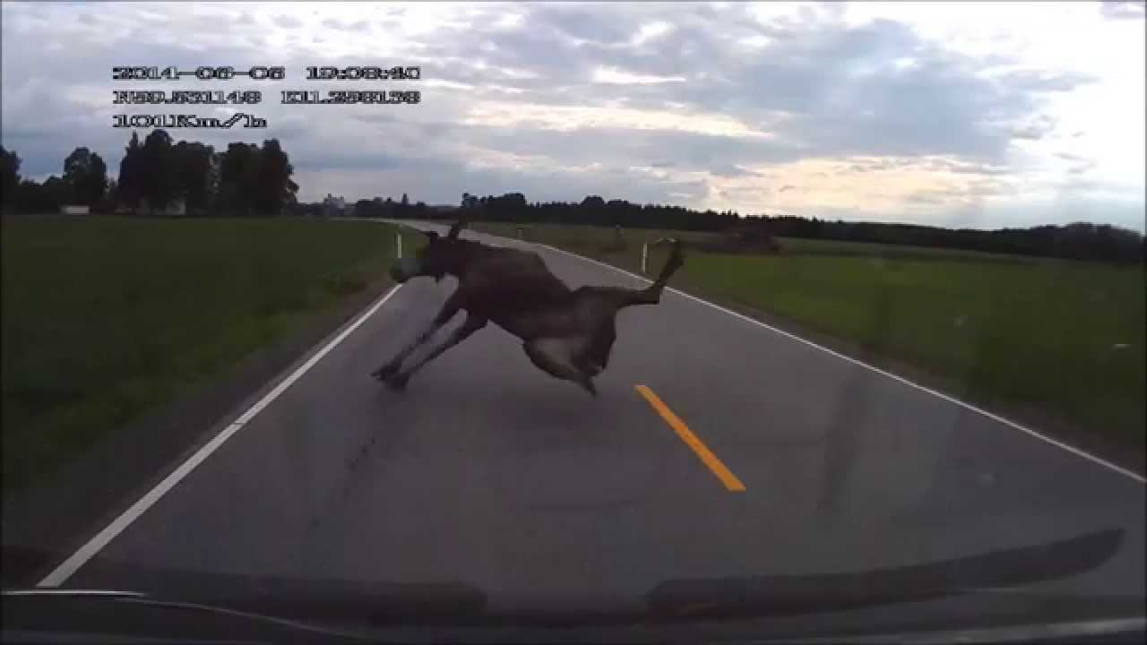 Close Call Car Vs Moose Youtube