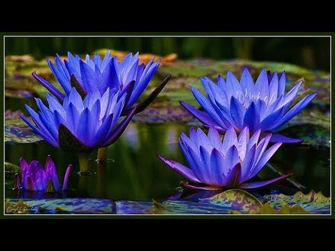 Ancient Egyptian Blue Lotus Youtube
