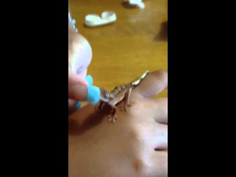 what to feed baby crested geckos