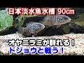 【オヤニラミ】10匹導入! ドジョウと戦う!『日本淡水魚水槽90#18』