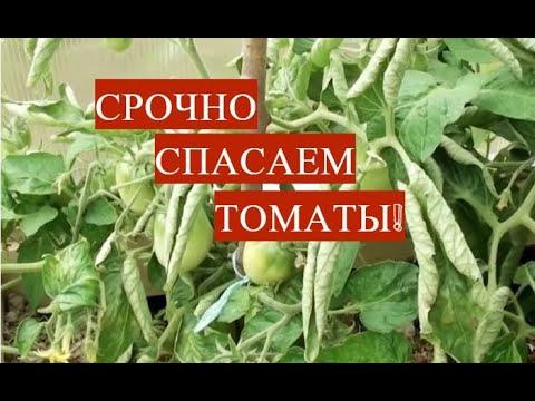 СРОЧНО СПАСАЕМ ТОМАТЫ! ПОЧЕМУ СКРУЧИВАЮТСЯ ЛИСТЬЯ У ТОМАТОВ И ЧТО ДЕЛАТЬ.   теплицееплице   скручиваются   выращиван   томатов   томаты   почему   листья   у   в