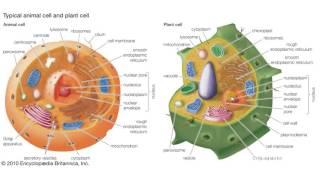 Биология в картинках: Сравнение растительной и животной клетки (Вып. 59)