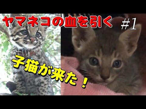 【保護猫の子供】かわいい子猫が我が家にやって来た!山猫の血を引く灰色猫。