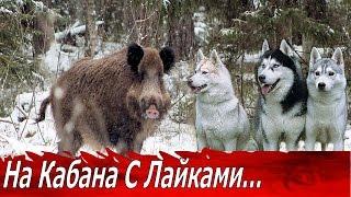 Охота на Кабана с Лайками! Трофейный Секач.