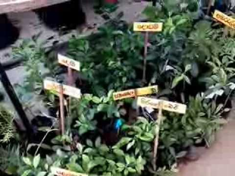 Ayurvedic medicinal plants of sri lanka youtube for Sri lankan landscaping plants