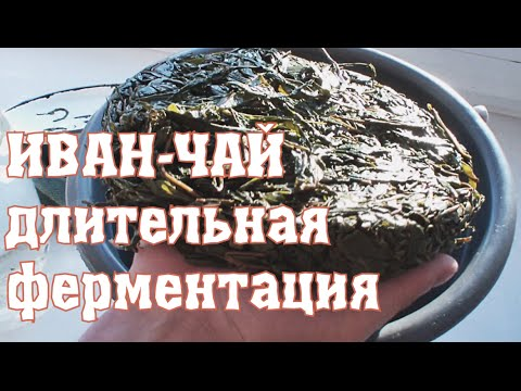 Иван чай или копорский чай. Полезные свойства иван чая
