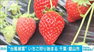今年もイチゴ狩り始まる 台風15号被害の千葉で(20/01/03)