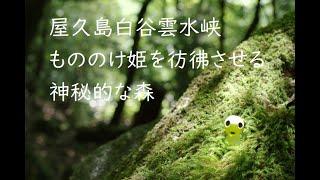 屋久島白谷雲水峡~もののけ姫を彷彿させる神秘な森(Yakushima_mononoke_siratani)