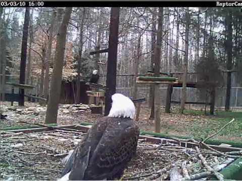 Bald Eagles Carolina Raptor Center 03/03/10 Timelapse..