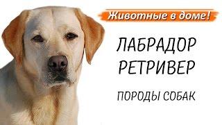 Лабрадор ретривер - породы собак.
