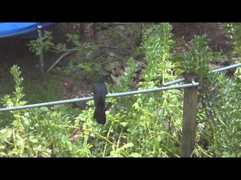 The Common Koel or Pacific Koel or Eastern Koel - A Large Black Cuckoo Bird