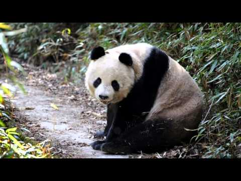 Encounter with wild Qinling pandas in Foping Nature Reserve, China