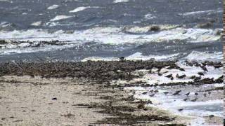 The Migration of the Red Knot