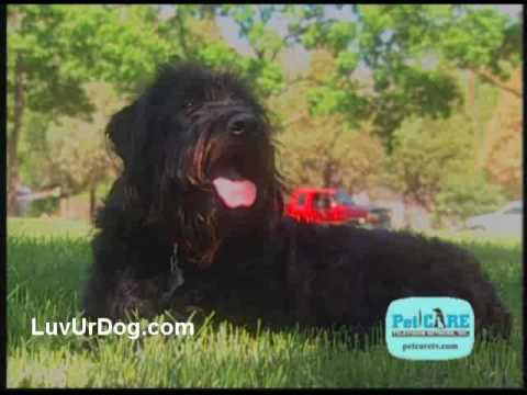 Labradoodles and other designer dog breeds