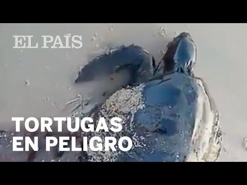 Varias TORTUGAS aparecen cubiertas de PETRÓLEO en Brasil