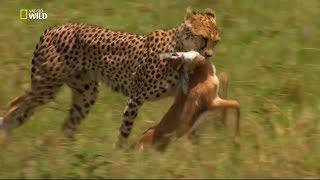 Nat Geo Wild - Çita Ölümcül İçgüdü / Belgesel HD