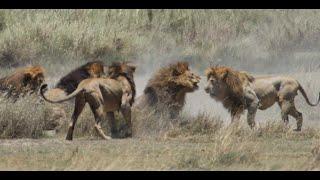 Video 4 of 5. Battle of 4 lions against 1 in Serengeti National Par...