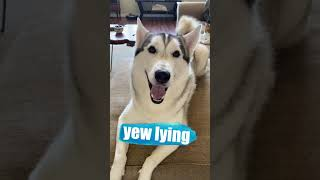 Husky FREAKS OUT When Told He's ADOPTED!!! #shorts
