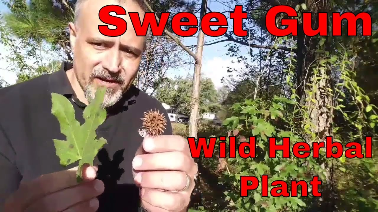 Sweet gum: Wild edible and herbal plant