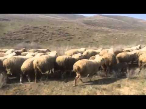 Sheep From Armenia 3