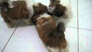 3 Cutest Male Shih Tzu Puppies Jakarta Indonesia Eating