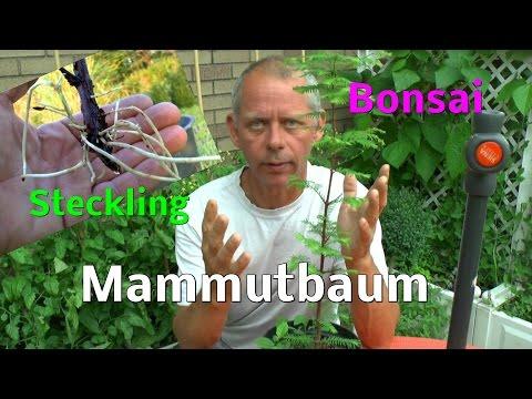 Bonsai, Mammutbaum, Metasequoia glyptostroboides, Steckling 2