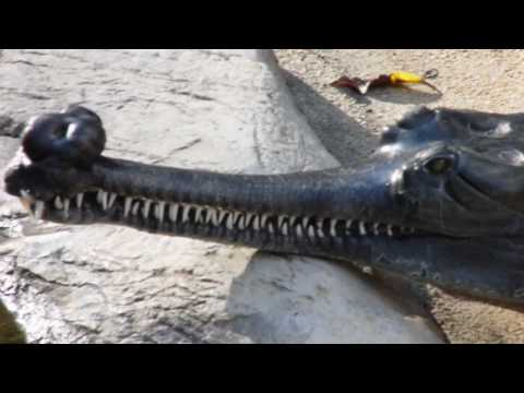Indian Gharial Giant Crocodile