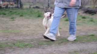 Boss The 4 Months Old Argentine Dog Puppy.
