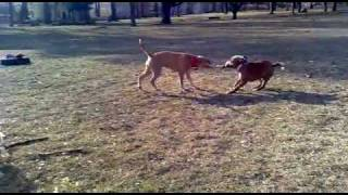 Staffordshire Bull Terrier Tug Of War