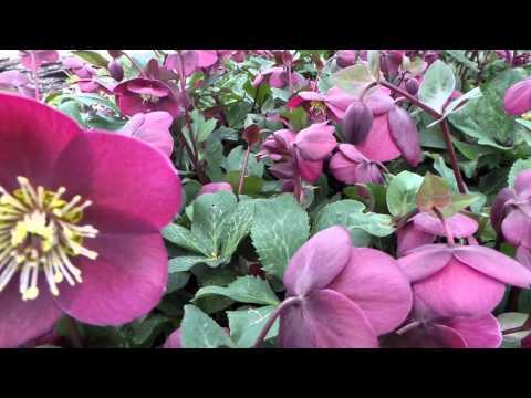 Lenten Rose 'Annas Red' Helleborus