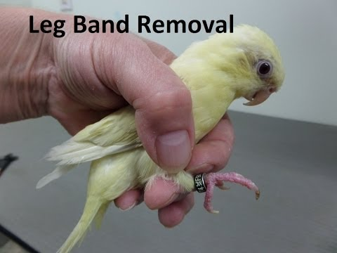 How to Remove a Leg Band on a Lineolated Parakeet - YouTube