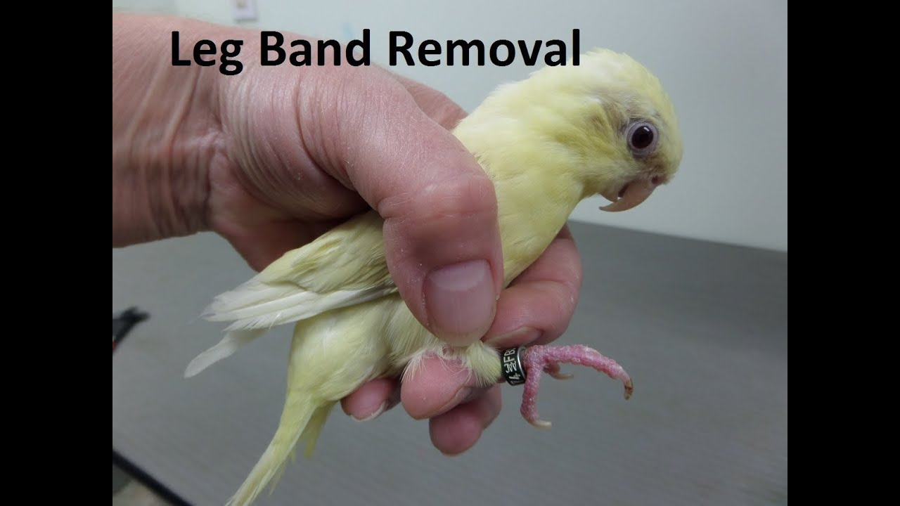 Removal Of A Birds Leg Band At Home - Birds Commonly Causing Conflicts In  Yellowpa -8894